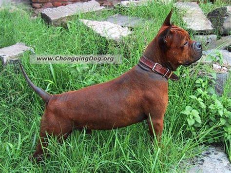dogs chinese chongqing dog
