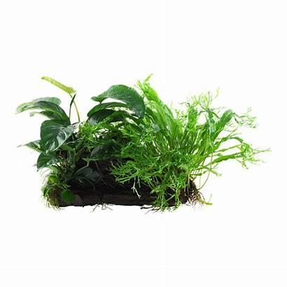 Anubias Plants Microsorum Duet Acuario Planta Wood