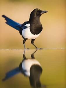 Elster Vogel Vertreiben : die elster 13 interessante fakten ber einen oft ~ Lizthompson.info Haus und Dekorationen