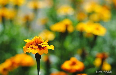 wisata bunga cihideung lembang bandung