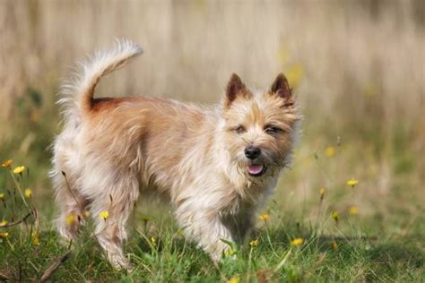 Cairn Terrier Non Shedding by Most Popular Hypoallergenic Non Shedding Breeds