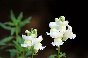 White Snapdragon Flower | Flickr - Photo Sharing!