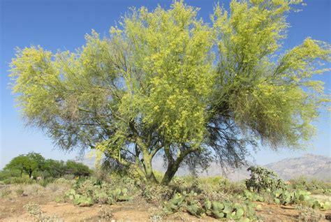 xeriscape trees desert trees arizona desert xeriscape