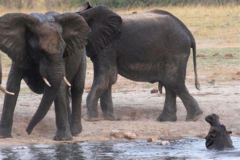 elephant poaching tanzanias ivory smuggled  china