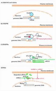 Schematic Representation Of Crispr  Cas9 Systems And Rnai