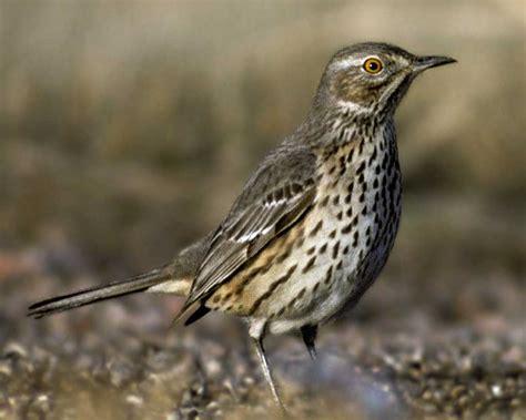 sage thrasher audubon field guide