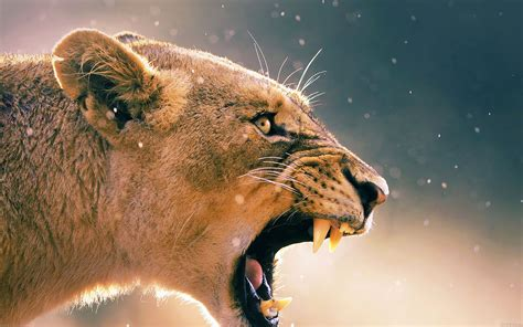 ma angry lion  animal nature papersco