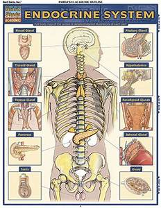 62 Best Images About Nursing  Endocrine System  On
