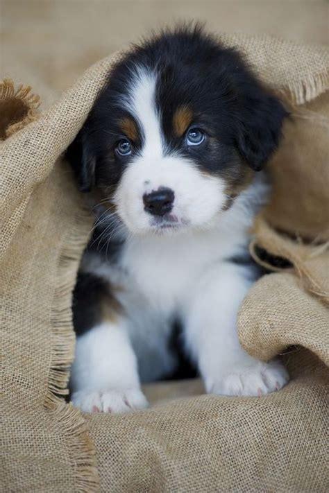 las  razas de perros  los cachorros mas lindos