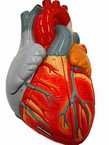 Free Unlabeled Heart Diagram  Download Free Clip Art  Free