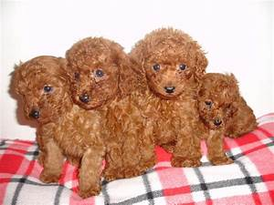 44 Very Cute Poodle Puppy Pictures And Images