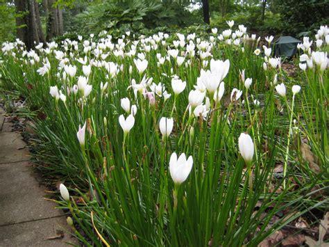 outdoor lilies rain lilies pop up after rain hgtv