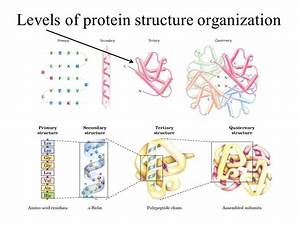Domain Tertiary  And Quarternary Structure Of Proteins