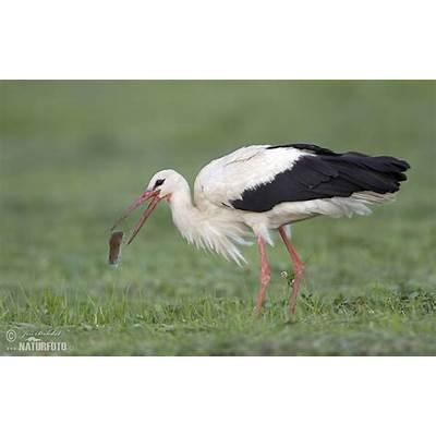 White Stork Photos Images Nature Wildlife