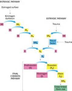 clotting-cascade Coagulation Factors