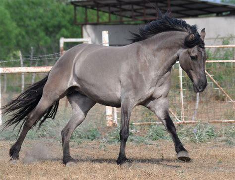novadosa kiger mustang mare grullo dream horse ranch