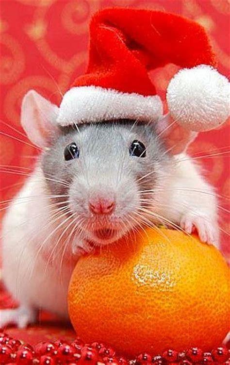 santa rat move  santa  animals wear  hat