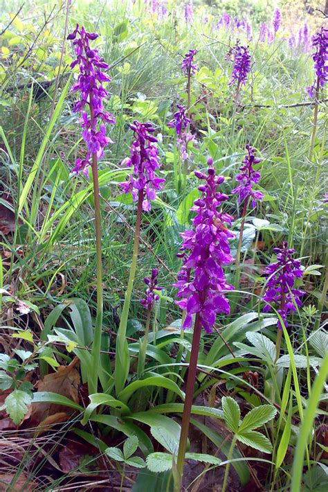 Colours: Orchis mascula