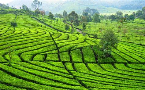 kebun teh terindah  bandung  wajib dikunjungi