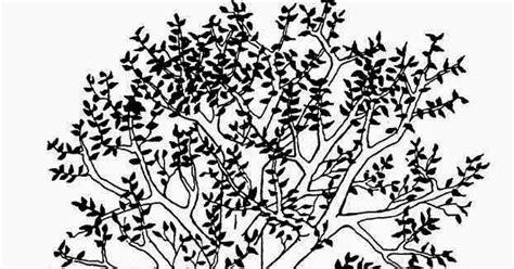 sketsa gambar pohon jambu