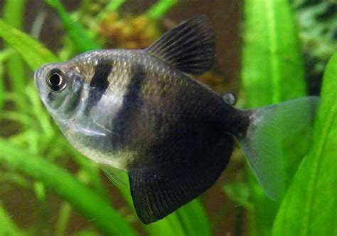 Black Wido Fish (black Tetra