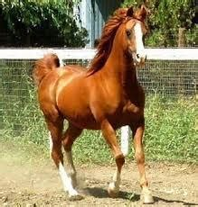 Muscular Stallion Horse Chestnut