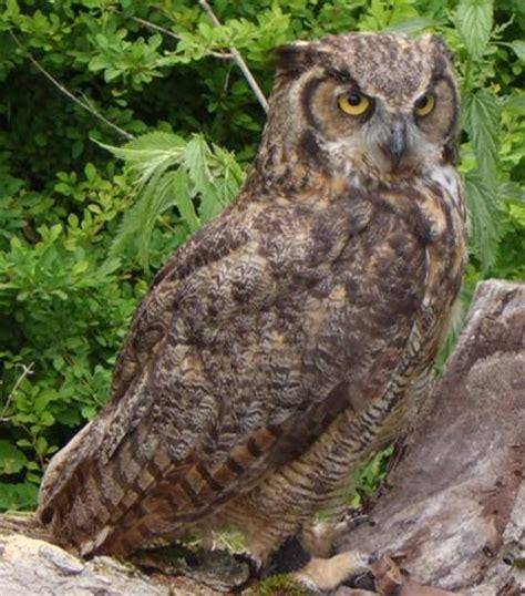 Do Barn Owls Eat Cats by Untitled Document Bio Sunyorange Edu