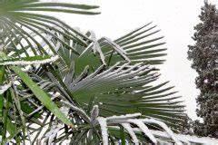 Hanfpalme Braune Blätter : chinesische hanfpalme pflegen gie en schneiden und mehr ~ Lizthompson.info Haus und Dekorationen