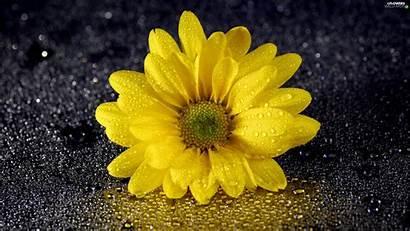 Yellow Flowers Dark Background Flower Colourfull Drops