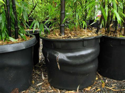 growing bamboo in containers growing and maintaining bamboo topandworld 4105
