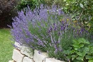 Wann Wird Lavendel Geschnitten : lavendel pflege schneiden ~ Lizthompson.info Haus und Dekorationen