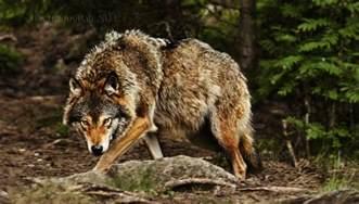 Giant Huge Wolf