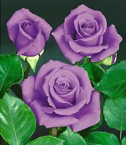 Rose Mein Schöner Garten : rose blue saphir 1 pflanze g nstig online kaufen mein ~ Lizthompson.info Haus und Dekorationen