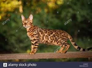 Bengal Cat with gold fur walk on plank outdoor, side view ...