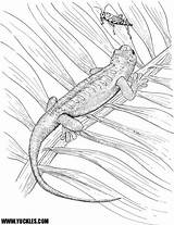 Coloring Gecko Pages Yuckles Reptile Geckos Web Lizards sketch template