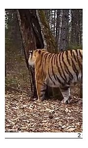 Rare footage, Wild Siberian tiger family spotted in ...