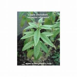 Verveine Plante Tisane : verveine citronnelle plant de citronnelle odorante ~ Mglfilm.com Idées de Décoration