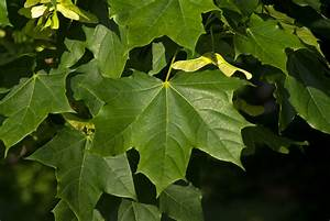 Ahorn Frucht Name : spitz ahorn acer platonoides ~ Frokenaadalensverden.com Haus und Dekorationen