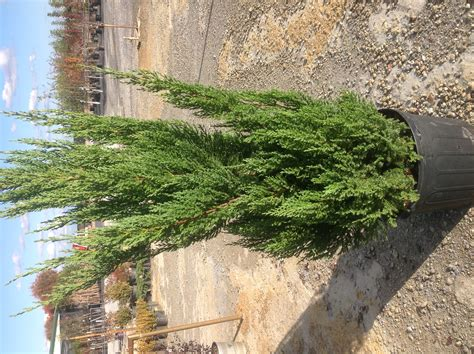 get it growing christmas trees need proper care bossier