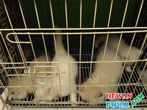 populer kucinghimalaya populer