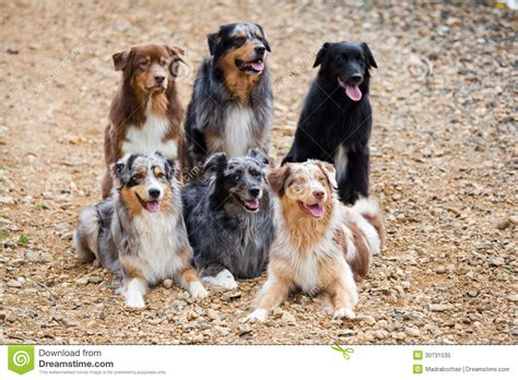 Six Australian Shepherd Dogs Stock Image - Image of dogs ...
