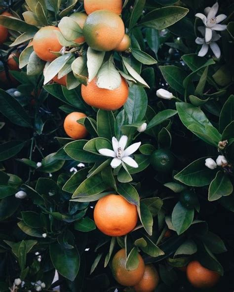 orange smell christmas tree the smell of orange blossoms greenery gardens blossoms and fragrance