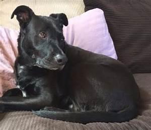 Precious Pilot - Labrador Retriever Mix Seeks Loving Home ...