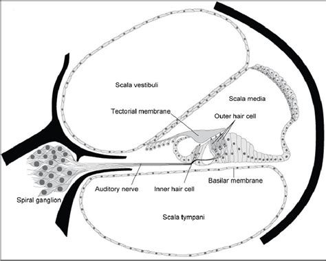 Blank Diagram Of The Cochlea by 7 Best Images Of Ear Diagram Scala Meniere S Disease