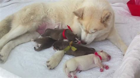 newborn siberian husky day  good girl sasha youtube