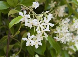 1000 idees sur le theme trachelospermum jasminoides sur With idee de plantation pour jardin 18 jasmin etoile plantation taille et entretien