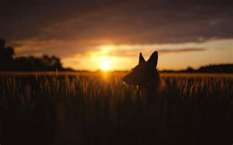 Animal Silhouette Wallpaper - animals nature sunset wheat plants silhouette