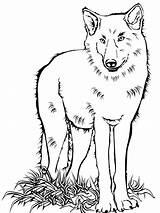 Wolf Coloring Pages Animals Printable Colouring Wolfs Getdrawings Drawing Games sketch template