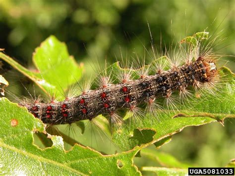 types  tussock moth caterpillars