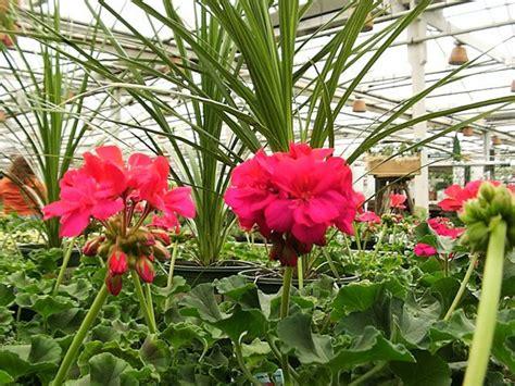 care of pelargoniums how to care for geraniums geraniums pinterest